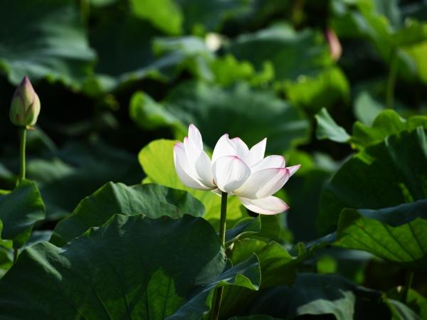 lotus20160719